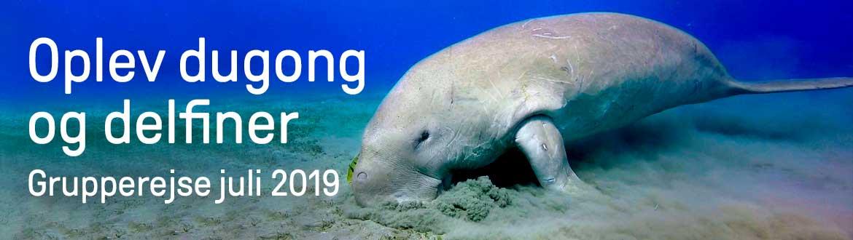 Dugong og delfiner Rødehavet